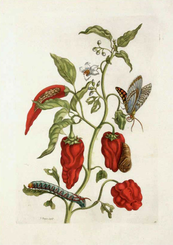 Maria Sibylla Merian Metamorphasibus Insectorum Surinamensium